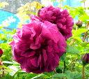 ◇【バラ苗】 ブラックボーイ (M黒赤) 国産苗 新苗 6号鉢植え品 ● 【オールドローズ....