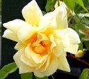 ◇【バラ苗】 フランチェスカ (HMsk黄) 国産苗 新苗 6号鉢植え品 ● 【オールドローズ....