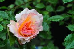 ◆◇◆【バラ苗】 ファミー (FL複橙) 国産苗 新苗 ● 【四季咲き.木立.中輪房咲き.フロ...