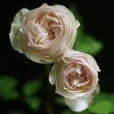 【バラ苗】 ブノワマジメル (UR白色) 国産苗 新苗 6号鉢植え品 ○