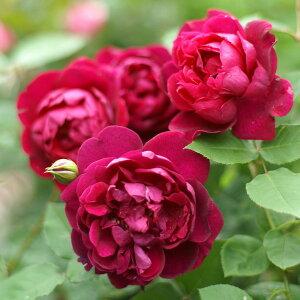 【バラ苗】 アンダーザローズ (UR黒赤) 国産苗 新苗 6号鉢植え品 ○