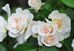 ◇【バラ苗】 マーガレットメリル (FL白色) 国産苗 新苗 6号鉢植え品 ● 【四季咲き....