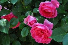 ☆★☆【バラ苗】 パレード (CL濃桃) 国産苗 大苗 6号鉢植え品 ☆ 【つるバラ.ツルバラ....