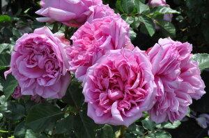 【バラ苗】 ローズポンパドゥール (Del桃) 国産苗 大苗 6号鉢植え品 ☆ 【デルバール】