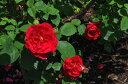 ※※※【バラ苗】 L D ブレスウェイト (中ER赤) 国産苗 大苗 6号鉢植え品 ★ 【イングリ...