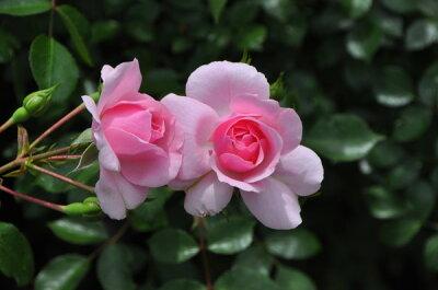 即納【バラ苗】 ボニカ82 (Sh桃) 国産苗 大苗 6号鉢植え品 ☆ 【シュラブ.半つるバラ....
