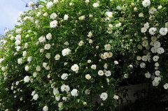 【バラ苗】 つるサマースノー (Cl白) 国産苗 大苗 6号鉢植え品 ☆ 【つるバラ.ツルバラ...
