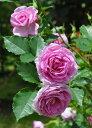 ※※※  【バラ苗】 コティヨン (FL桃紫)  国産苗 大苗 6号鉢植え品 ☆ 1月末までに...