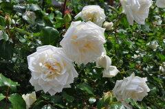 ◇【バラ苗】 新雪【シンセツ】 (Cl白.) 国産苗 新苗 6号鉢植え品 ● 【つるバラ.ツル...