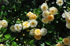 ◆◇◆【バラ苗】 ギスレーヌドゥフェリゴンド (R淡黄) 国産苗 新苗 ● 【オールドローズ...