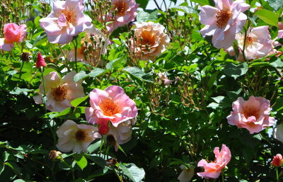 ☆★☆【バラ苗】 メグ (Cl桃) 国産苗 大苗 6号鉢植え品 ☆ 【つるバラ.ツルバラ.つる...