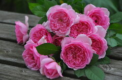 即納 【バラ苗】 ローズポンパドゥール (Del桃) 国産苗 中苗 6号鉢植え品 ● 【デルバール】