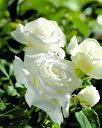 ※※※ 【バラ苗】 ヨハネパウロ2世   (HT白色) 国産苗 大苗 6号鉢植え品 ☆ 1月末ま...