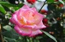 ◇◆◇ 【バラ苗】 カリフォルニアドリーミング (HT覆桃) 国産苗 新苗 ● 【四季咲き.木立...