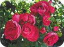 ◆◇◆【バラ苗】 ピンクグリーンアイス  (Min桃) 国産苗 新苗 ● 【ミニバラ】 ※6月...