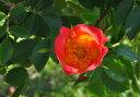 ◇【バラ苗】 レディペンザンス (Sh橙) 国産苗 新苗 6号鉢植え品 ● 【シュラブ.半つ...
