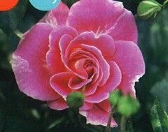 ◇◆◇ 【バラ苗】 シェアリングアハピネス (FL覆桃) 国産苗 新苗 ● 【四季咲き.木立.中...