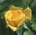 【バラ苗】 ローラフォード(Cl黄色)  国産苗 新苗 5号鉢植え品 ○ 【つるバラ.ツルバ...