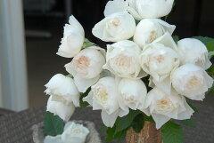 ◇【つぼみ付き♪バラ苗】 しずく (FG白色) 国産苗 新苗 6号鉢植え品 ● 【F&Gローズ....