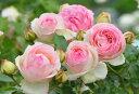 バラ苗【中苗】ピエールドゥロンサール (Ant桃) 国産苗 6号鉢植え品《J-ANT10》