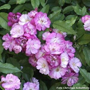 ◆◇◆【バラ苗】 Kiftsgate 'Violett' 【キフツゲートヴァイオレット】 (R紫) 国産苗 ...