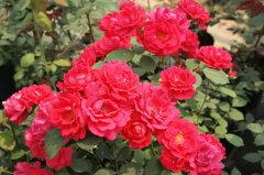予約 【バラ苗】 ポールズスカーレットクライマー (Cl赤色) 国産苗 新苗 ● 【つるバラ....