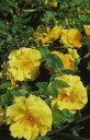 ◇【バラ苗】 ガーデナーズグローリー (Cl黄) 国産苗 新苗 6号鉢植え品 ● 【つるバラ...