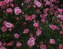 【バラ苗】 須恵姫【すえひめ】 (Min桃)  国産苗 大苗 6号鉢植え品 ★ 【ミニバラ】
