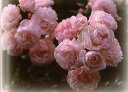 即納 【バラ苗】 ピンクキャット (Pol桃) 国産苗 新苗 6号鉢植え品 ● 【オールドローズ....