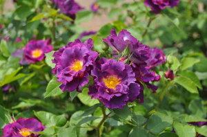 ◆◇◆ 【バラ苗】 プリンセスシビルドゥルクセンブルグ (Ora紫) 国産苗 新苗 ● 【フレ...