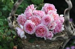 予約 【バラ苗】 トットちゃん (KB桃) 国産苗 大苗 6号鉢植え品 ★※2月末までにお届け…