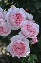 ◇【バラ苗】 ナエマ (Del桃) 国産苗 新苗 6号鉢植え品 ● 【デルバール】