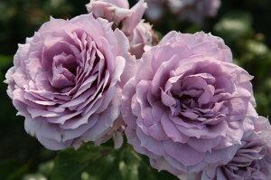 ◇◆◇ 【バラ苗】 ノヴァーリス (Ant紫) 国産苗 新苗 ● 【アンティークタッチのバラ....