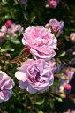 ★☆★ 【バラ苗】 レイニーブルー (Cl藤色) 国産苗 大苗 6号鉢植え品 ★ 【つるバラ....