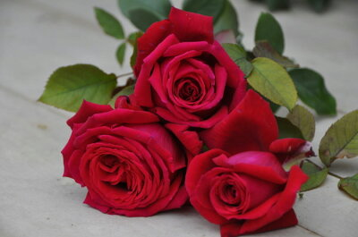 ◇◆◇ 【バラ苗】 フラム (Ora赤) 国産苗 新苗 ● 【フレンチローズ.オラール】 ※5月...