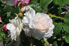 即納 【バラ苗】 ウィンチェスターキャシドラル (中ER白) 輸入苗 大苗 6号鉢植え品 ■ …