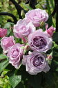 即納 【バラ苗】 イエライシャン 【夜来香】 (HT紫) 国産苗 大苗 6号鉢植…