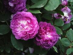 即納 【バラ苗】 Reine des Violettes2【レーヌデヴァイオレット2】 (HP) 国産苗 新苗 6...