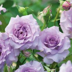 即納 【バラ苗】 サロン (紫) 国産苗 大苗 6号鉢植え品 ☆