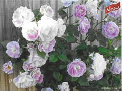 即納【バラ苗】 スプリングメルヘン (CL紫) 国産苗 大苗 6号鉢植え品 ☆ 【つるバラ....