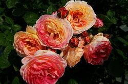 即納【バラ苗】ロソマーネジャノン(Gen複)国産苗大苗6号鉢植え品☆【ギヨー】