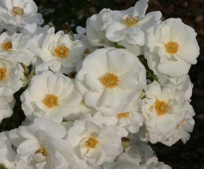 即納 【バラ苗】 Innocencia Rigo Rosen KORstarnow 輸入苗 大苗 6号鉢植え品 ■