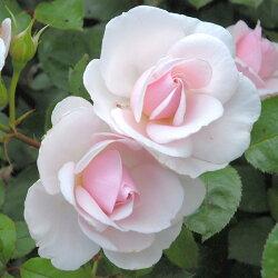 ◆即納【バラ苗】ローズドゥグランヴィル(AE淡桃)国産苗新苗6号鉢植え品○【アンドレエブ】《AE》●○●