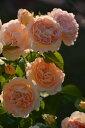 予約 【バラ苗】 アメリノートン (Del杏黄) 国産苗 大苗 6号鉢植え品 ★ 【デルバール】...