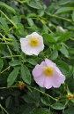 【大苗】バラ苗 ロサガリカスポンタニア (Sp薄桃) 国産苗 6号鉢植え品《J-OC20》