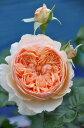 【予約大苗】バラ苗 まそら【真宙】マソラ (Sh橙) 国産苗 6号鉢植え品《J-YR》 ※2月末までにお届け