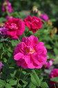 【大苗】バラ苗 ロサガリカコンディトルム (G黒赤) 国産苗 6号鉢植え品《J-OC20》