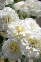 即納 【バラ苗】 ホワイトメイディランド (Sh白) 国産苗 大苗 6号鉢植え品…