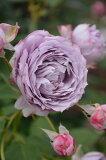 【大苗】 バラ苗 ノヴァーリス (Ant紫) 国産苗 6号鉢植え品《J-IRO》