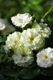 バラ苗【6号新苗】グリーンアイス (Min複白緑) 国産苗 6号鉢植え品【即納】《J-MIN10》